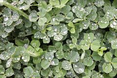Close-up of clovers covered in dew drops stock photography