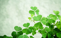 Close up Clovers leaves for background .The symbolic of Clover t. He first is for faith, the second is for hope, the third is for love Clover and shamrocks is Stock Images