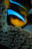 A close up of a clown fish hiding in his anemone home Royalty Free Stock Image