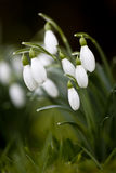 Close-up of clump of Snowdrops Stock Photo