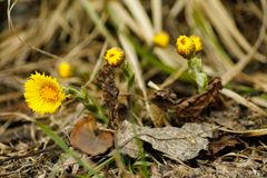 Close up of a clump of yellow coltsfoot stock image