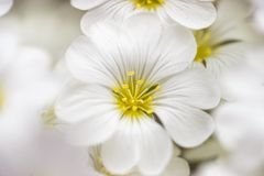 Close-up of a cluster of delicate white flowers stock image