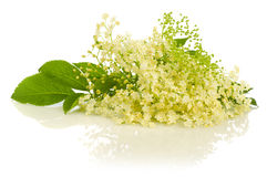 Close-up of cluster elder blossoms on white Stock Image