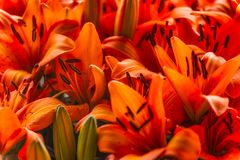 Orange Lilies. Close-up of a cluster of orange lilies and buds Royalty Free Stock Photo