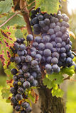 Close-up of a cluster of red grape hanging from a vine at a vineyard Royalty Free Stock Photos
