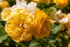 Close-up of cluster of yellow Julia Childs hybrid floribunda roses in selective focus with garden in blurred backgroun. Close-up of cluster of yellow Julia royalty free stock photos