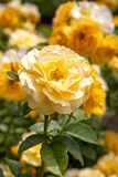 Close-up of cluster of yellow Julia Childs hybrid floribunda roses in selective focus in garden royalty free stock image