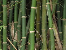Close Up of Clustered Bamboo Stalks Royalty Free Stock Photos