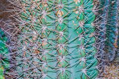 Cactus Spines. Close up of clusters of spines and needles of a cactus stock photo