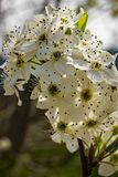 Close-up of Cluster Flowering Cherry Blossoms. Close-up of clusters white flowering cherry blossoms located in the Blue Ridge Mountains of Virginia, USA stock photography