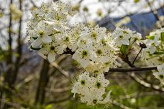 Cluster Flowering Cherry Blossoms. Close-up of clusters white flowering cherry blossoms located in the Blue Ridge Mountains of Virginia, USA royalty free stock photography