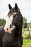 Close up clydesdale horse. Close up of a black clydesdale horse with white face on a farm stock photography