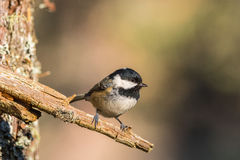 Close up of a Coal Tit Periparus ater Stock Images