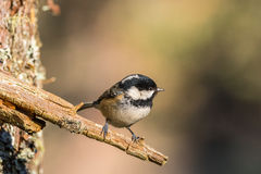 Close up of a Coal Tit Periparus ater Royalty Free Stock Photography