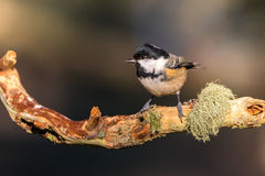 Close up of a Coal Tit Periparus ater on a lichen covered bran Stock Photo