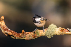 Close up of a Coal Tit Periparus ater on a lichen covered bran Royalty Free Stock Images