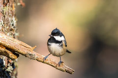 Close up of a Coal Tit Periparus ater. On a lichen covered branch staring ahead Stock Photos