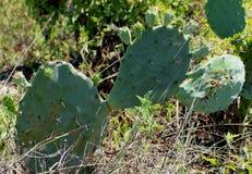 Coastal Prickly Pear Cactus royalty free stock photos
