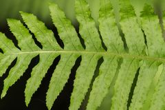 Close up of coastal woodfern Dryopteris arguta, California stock photos