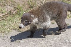 Close up of a Coati. Near Monteverde, Costa Rica Stock Image