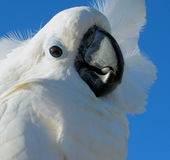 Close-up of cockatoo Stock Images