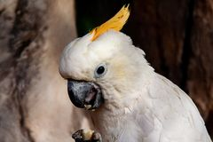Close up from a Cockatoo who eating stock photo