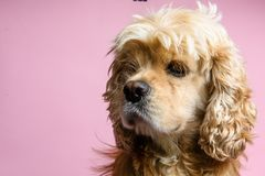 Close-up of cocker spaniel on a pink background stock photos