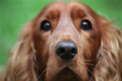 Close up of a cockers spaniel Stock Photography
