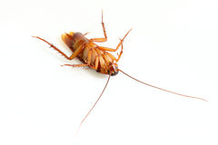 Close up of cockroach. Royalty Free Stock Image