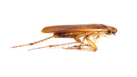 Close up of cockroach Royalty Free Stock Photos