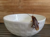 Close up cockroach at edge of white bowl royalty free stock photos