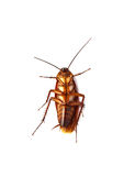 Close up of cockroach isolated Stock Image