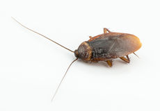 Close up cockroach isolated on white Royalty Free Stock Photography
