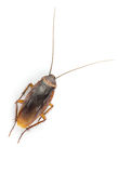 Close up cockroach isolated on white Royalty Free Stock Image