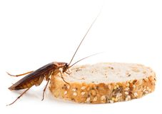 Close up of cockroach on a slice of bread Royalty Free Stock Images