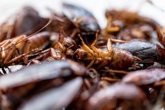 Cockroach for study finding parasites in laboratory. stock photography