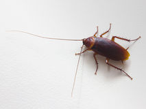 Close up of cockroach on wall Royalty Free Stock Photo
