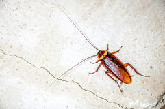 Close up cockroach Royalty Free Stock Images