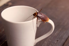 Close up cockroach on white cup drink Royalty Free Stock Photo