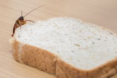 Close up of cockroach on a Whole wheat bread stock photo