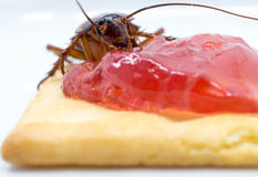 Close up cockroach on the whole wheat bread with jam Stock Images