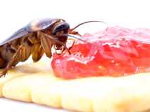 Close up cockroach on the whole wheat bread with jam. Cockroaches are carriers of the disease. Stock Photos