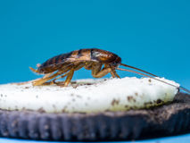 Close up Cockroaches are eating the white cream of the cookie, the blue background. Royalty Free Stock Image