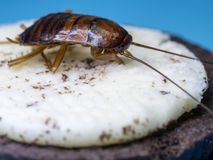 Close up Cockroaches are eating the white cream of the cookie, the blue background words. The Cockroaches are carriers of the dise Royalty Free Stock Images