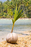 Close up of a coconut on the beach Stock Photography