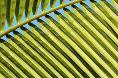 Close up of coconut leaf Stock Photography