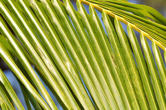Close up of coconut leaf Royalty Free Stock Photo