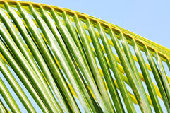 Close up of coconut leaf Stock Photos