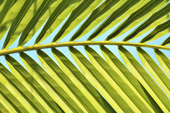 Close up of coconut leaf Stock Image