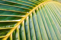 Close up coconut leaf show beautiful line and curve, coconut tree on the beach by the sea. stock photo